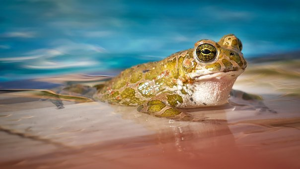 žába ve vodě