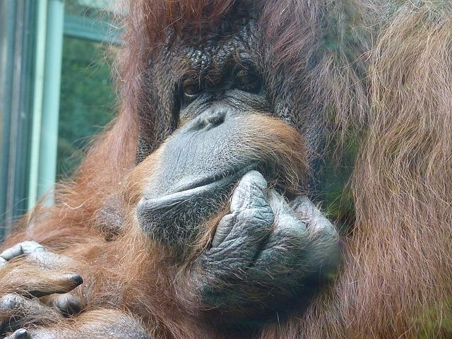 orangutan v zoo