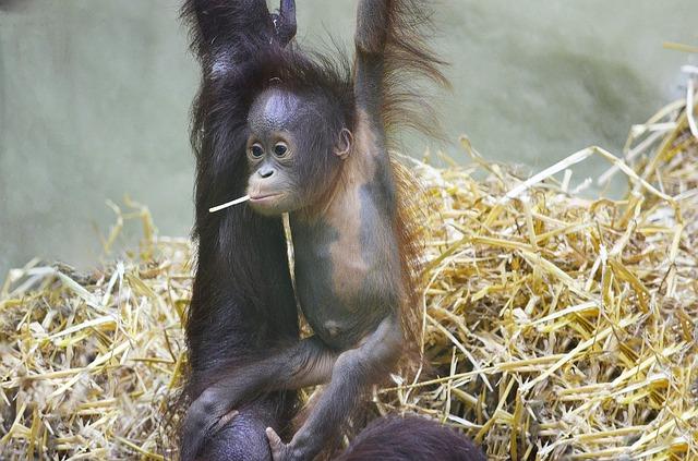 orangutan mládě