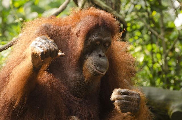 orangutan na stromě