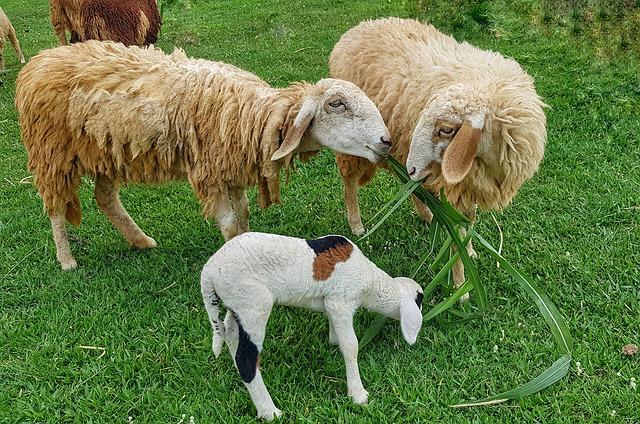 ovečky s potravou